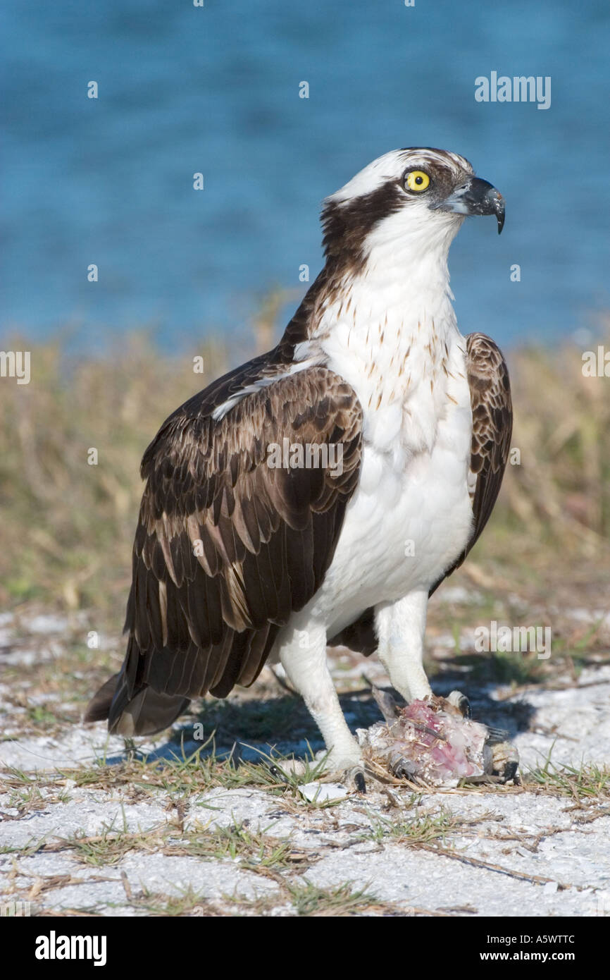 Osprey adult with fish in talons - Stock Image