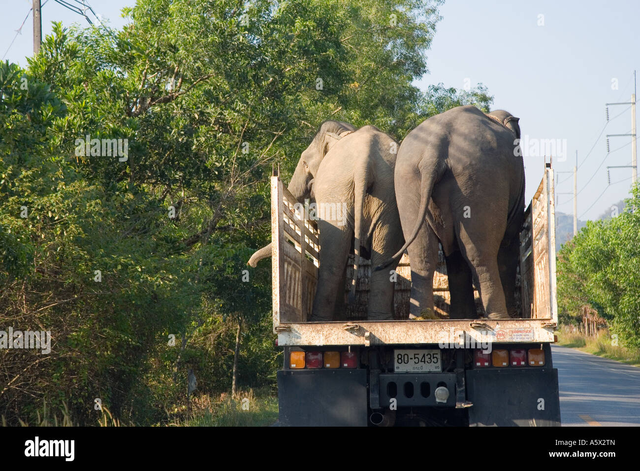 Asian Elephant being Transported by lorry and overtaking road vehicles on route to Phuket; Animal transport in Krabi Stock Photo