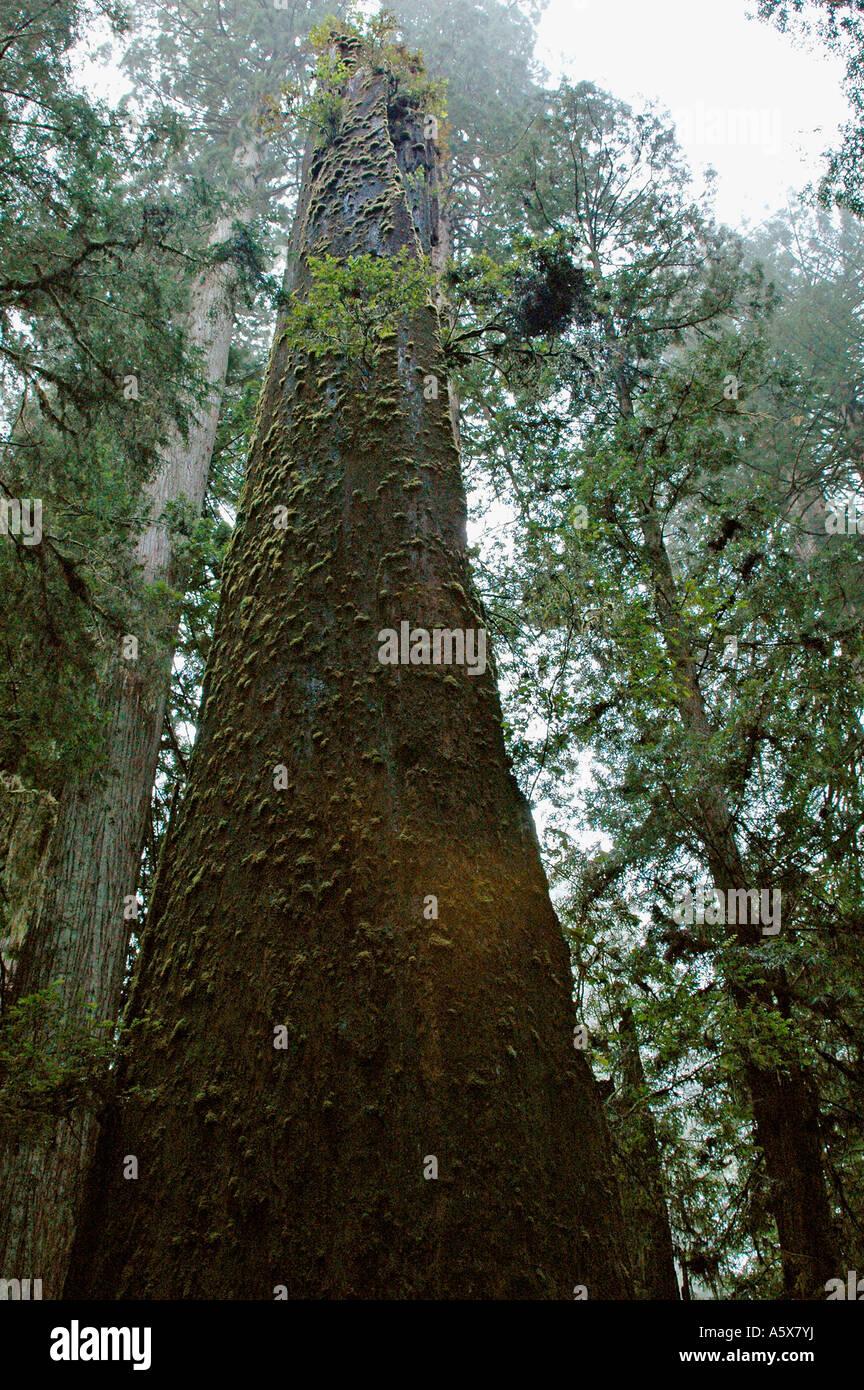 Painet je6833 california del norte redwood national park coastal drive newton drury scenic parkway oldgrowth coast - Stock Image