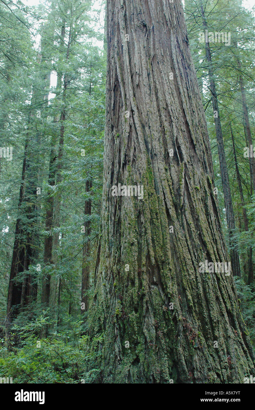 Painet je6834 california del norte redwood national park coastal drive newton drury scenic parkway oldgrowth coast - Stock Image