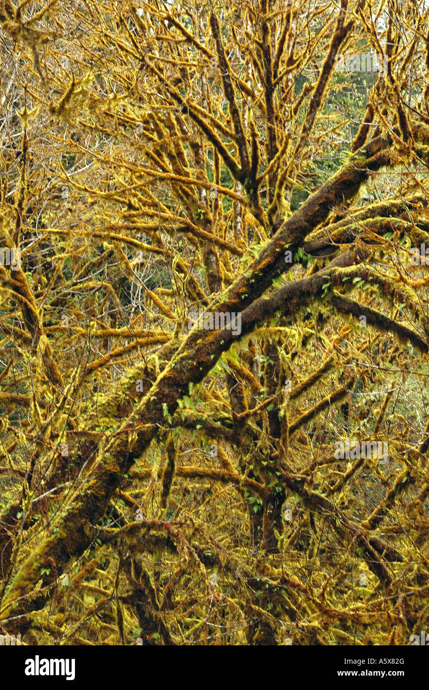 Painet je6838 california del norte redwood national park coastal drive newton drury scenic parkway oldgrowth coast - Stock Image