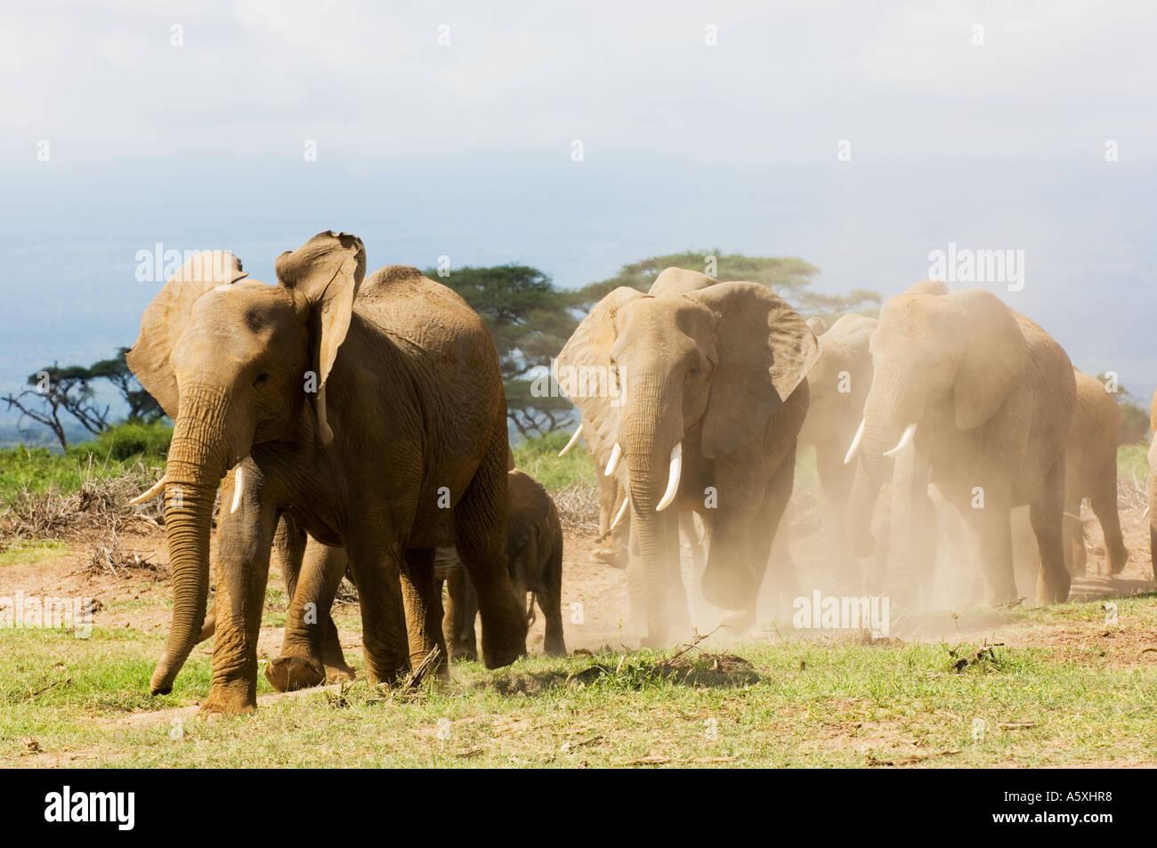 Elephant Herd Amboseli National Park Kenya - Stock Image