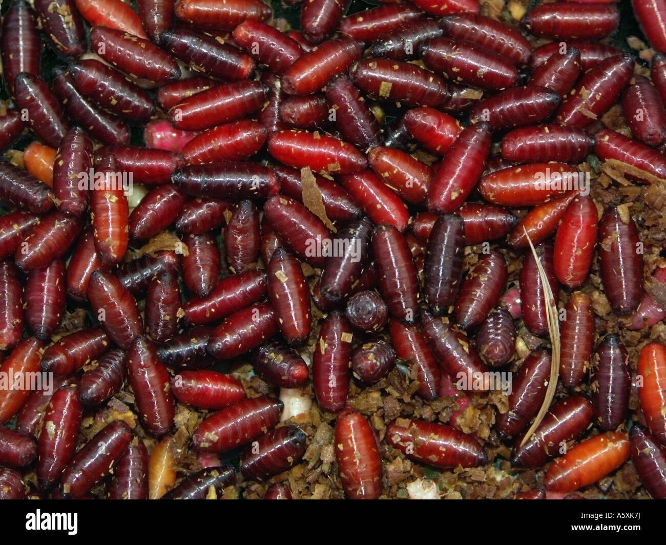 Maggot cocoons. - Stock Image