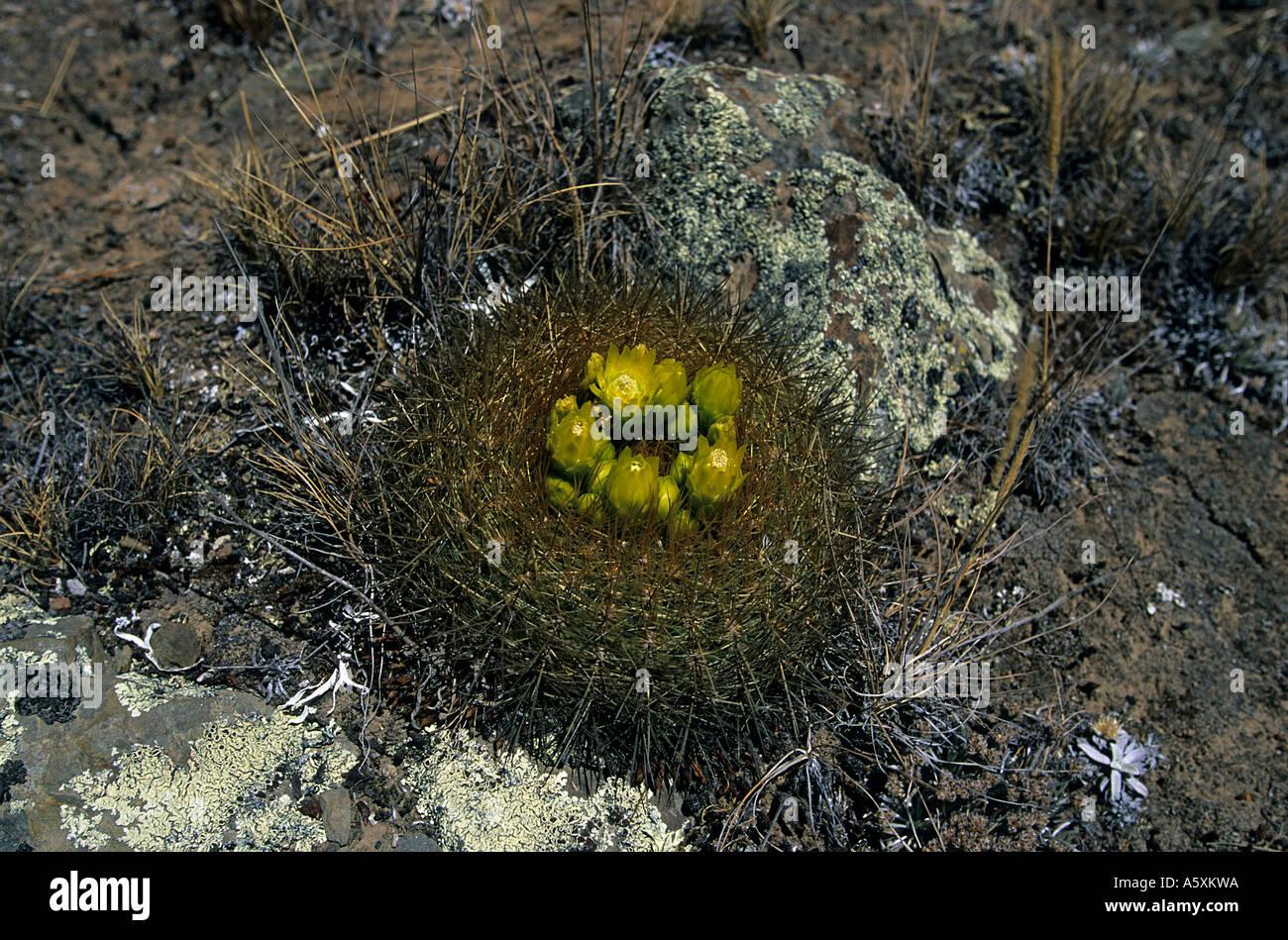 A cactus in bloom on the setting of Winchus (Peru). Cactus en fleur sur le site de Winchus (Pérou). Stock Photo