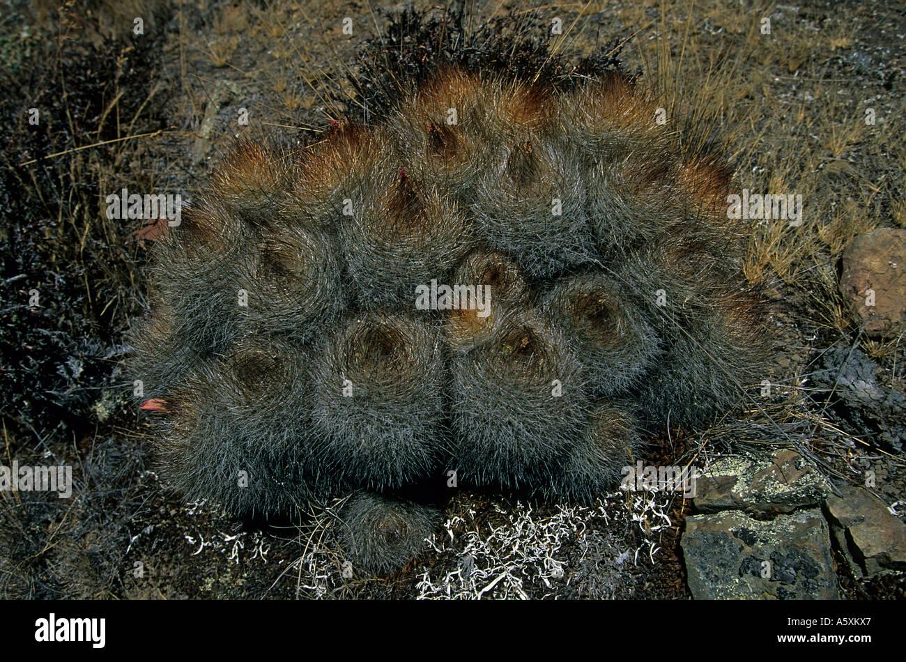 Cactuses on the setting of Winchus (Peru). Cactus (Matucana) sur le site de Winchus (Pérou). Stock Photo