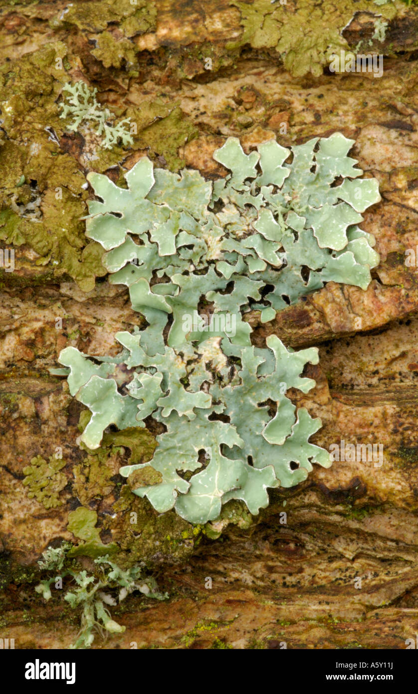 Lobaria Lichen growing on tree branch Lee Valley Park March 2007 - Stock Image