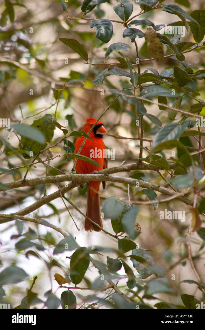 Northern Cardinal among leaf covered branches, Cardinalis cardinalis, Adult Male Eastern variety - Stock Image