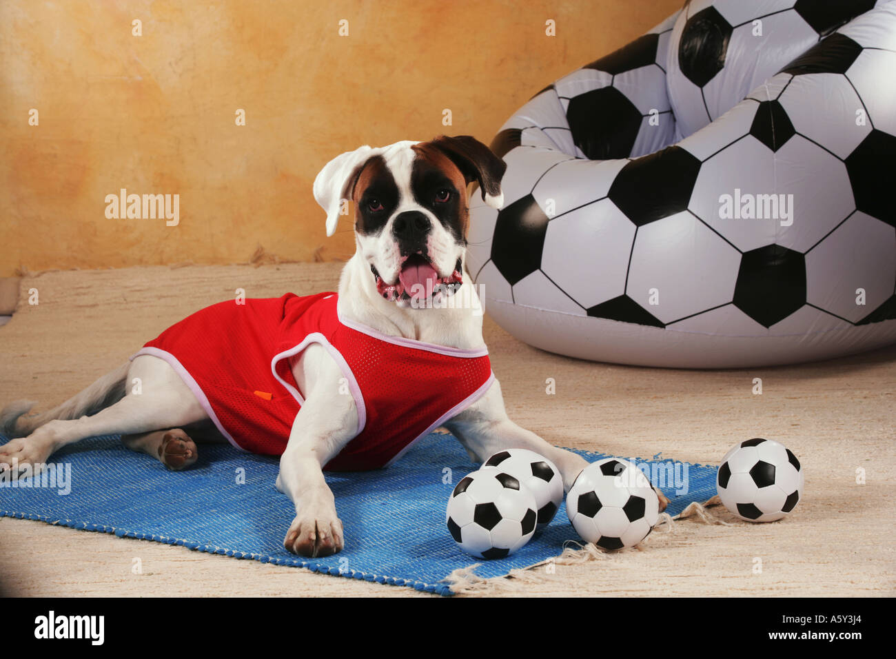 world championship of soccer Boxer with tricot lying next to balls - Stock Image