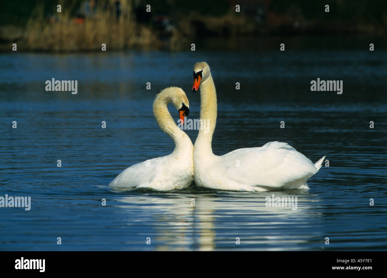 Mute Swans Cygnus olor doing courtship display priory park bedford bedfordshire - Stock Image