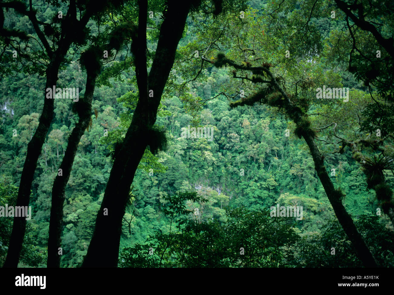 Panama, rainforest on slopes of , habitat for Quetzals - Stock Image