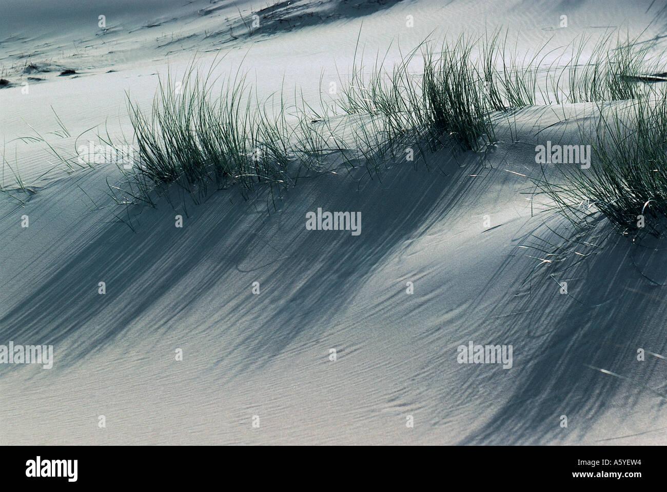 Marram grass (Ammophilia arenaria) on white sand dunes, Amrum Island, Germany - Stock Image