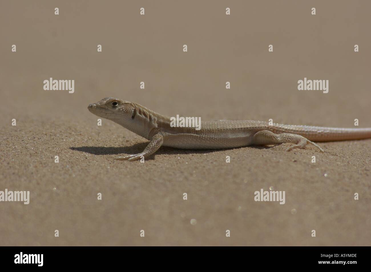lizard in desert - Stock Image