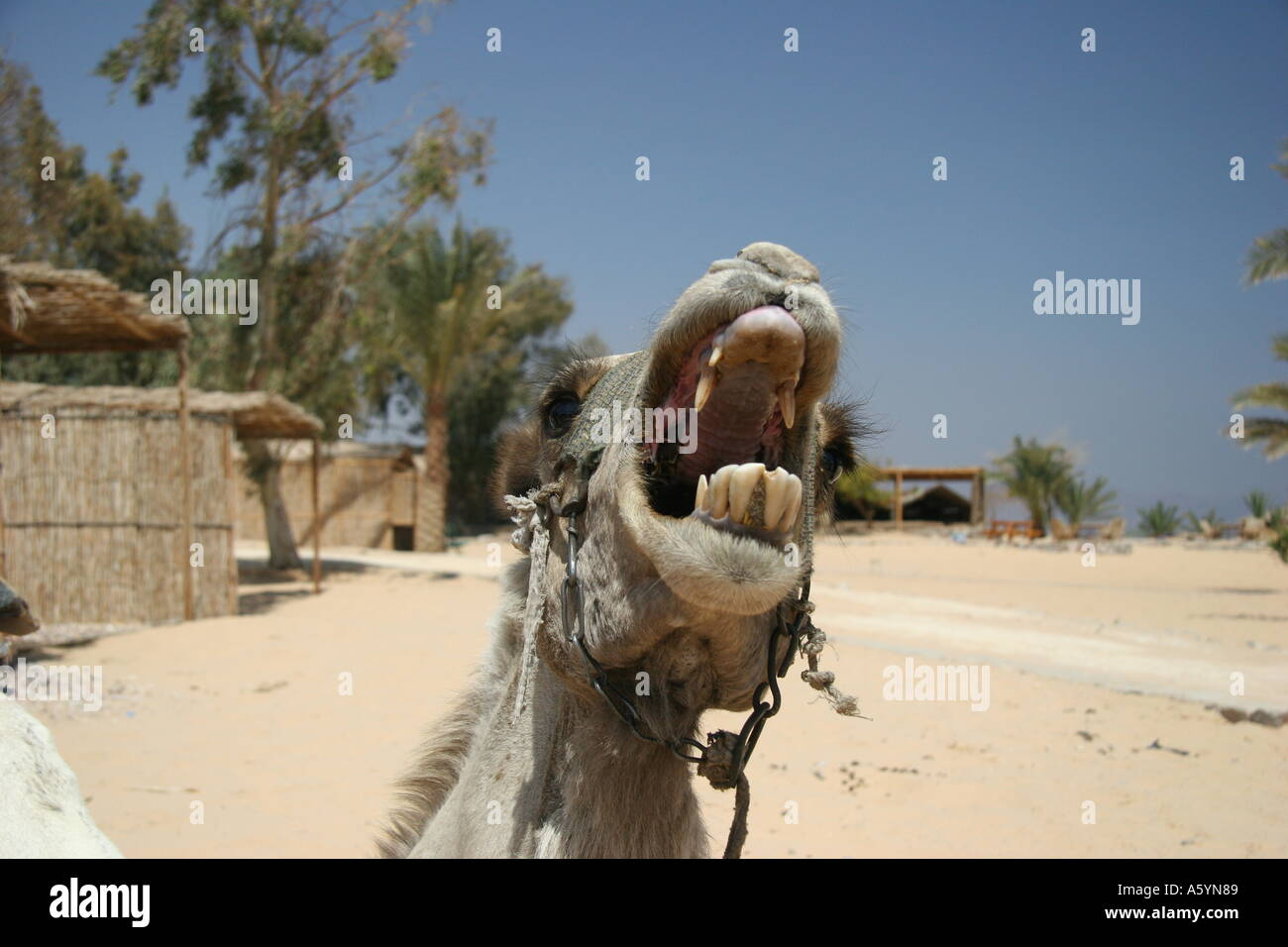 camel - Stock Image
