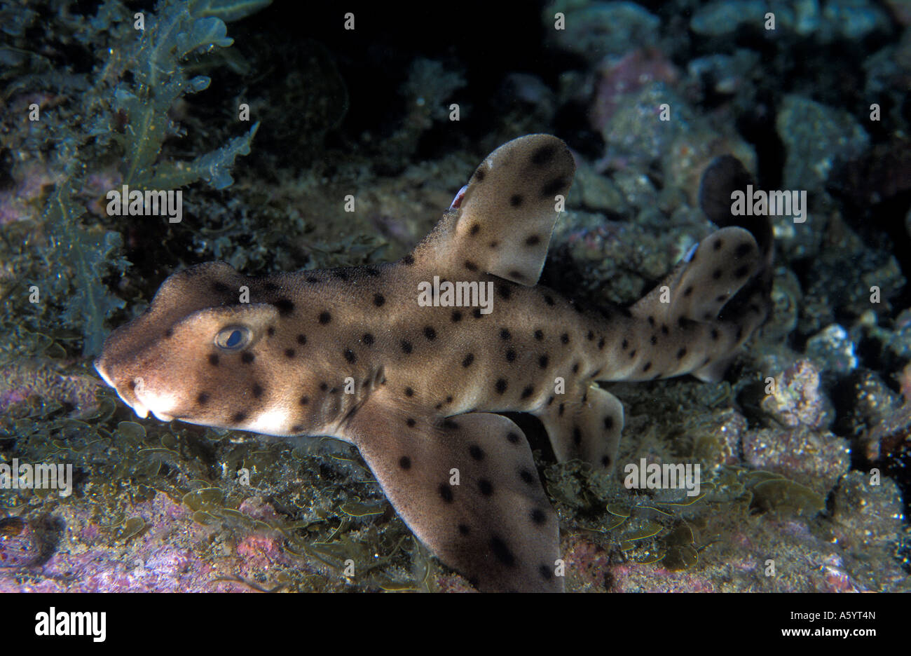 Horn shark Heteredontus francisci Channel Islands California USA - Stock Image