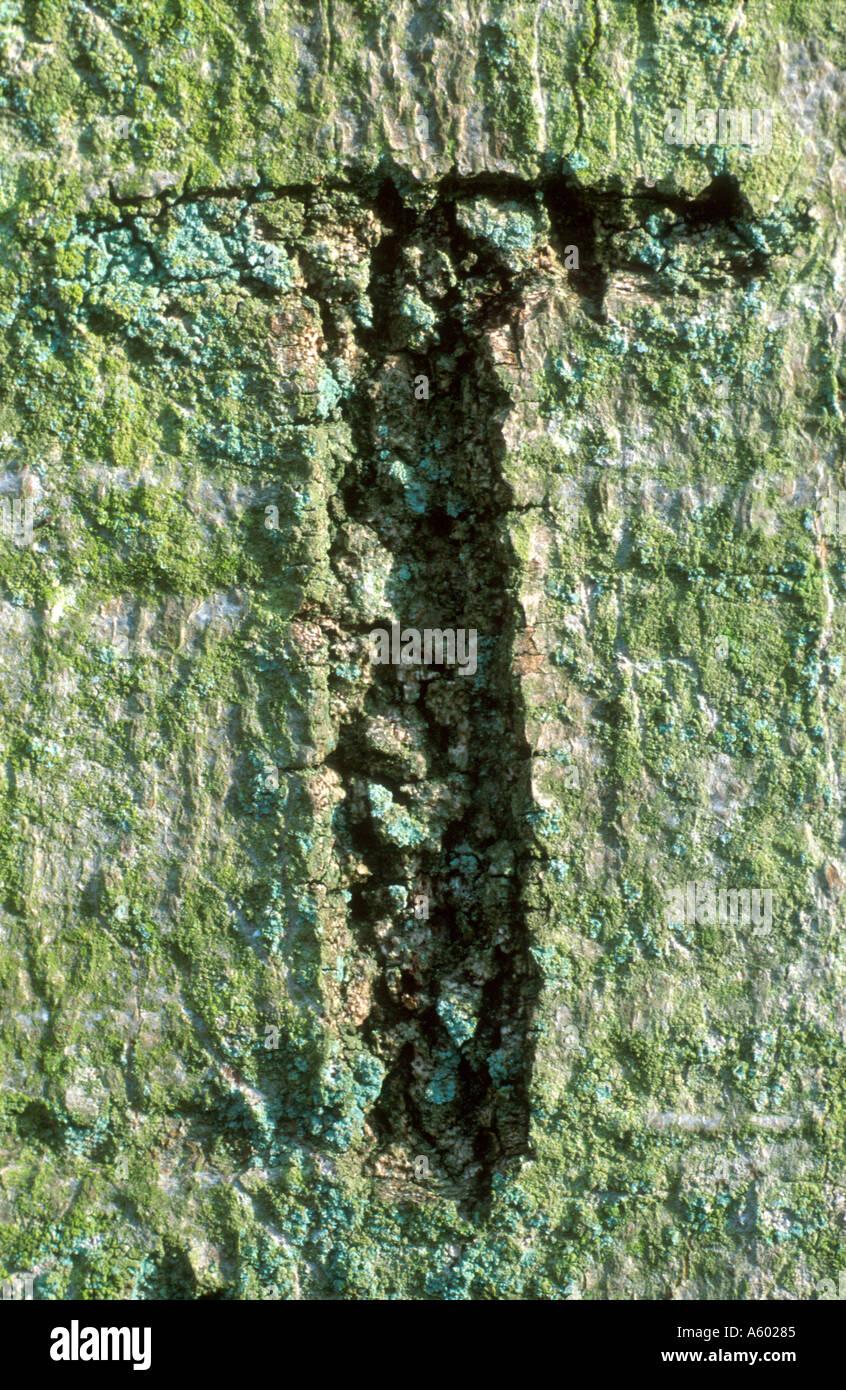 GRAFFITI LETTER T CARVED IN BARK OF TREE BLICKLING NORFOLK