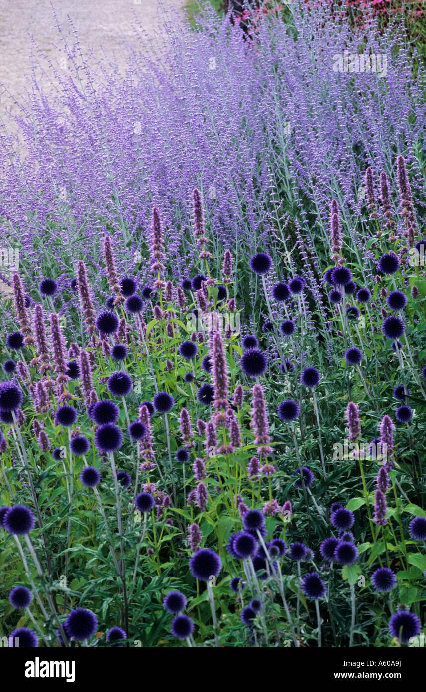 echinops 39 veitch 39 s blue perovskia 39 blue spire. Black Bedroom Furniture Sets. Home Design Ideas