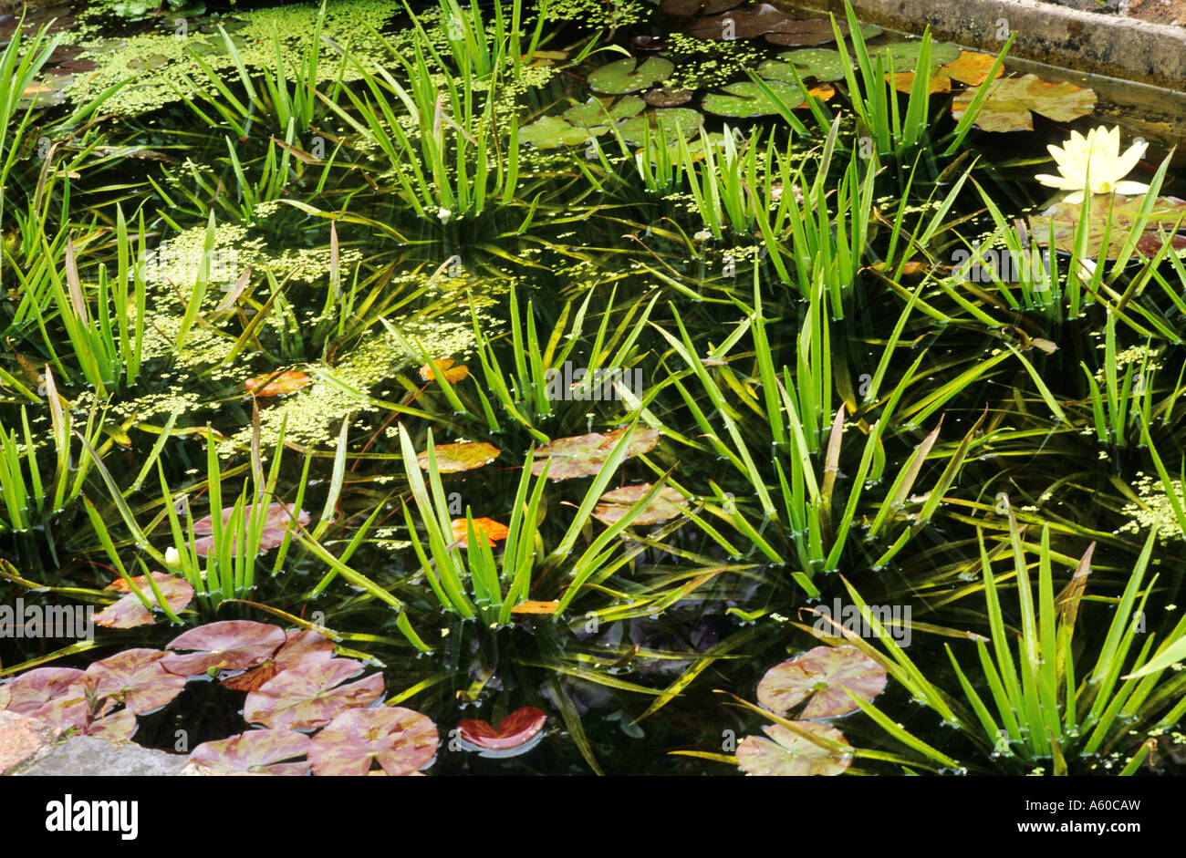 Stratiotes aloides, pond, water soldier, soldiers, ponds, garden plant - Stock Image