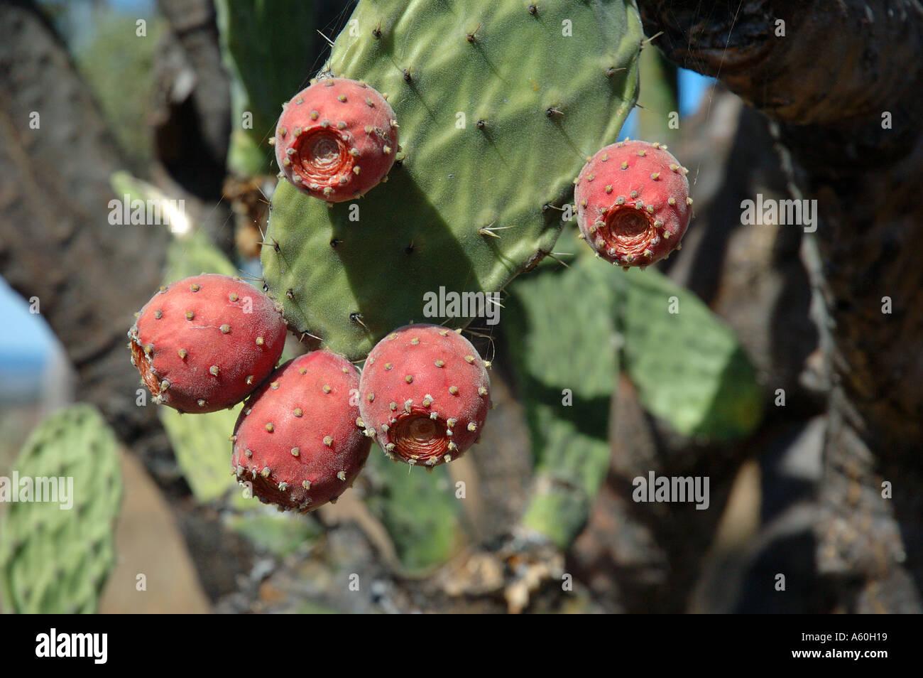 Prickly pear Opuntia ficus indicus cactus species bearing edible fruit Stock Photo
