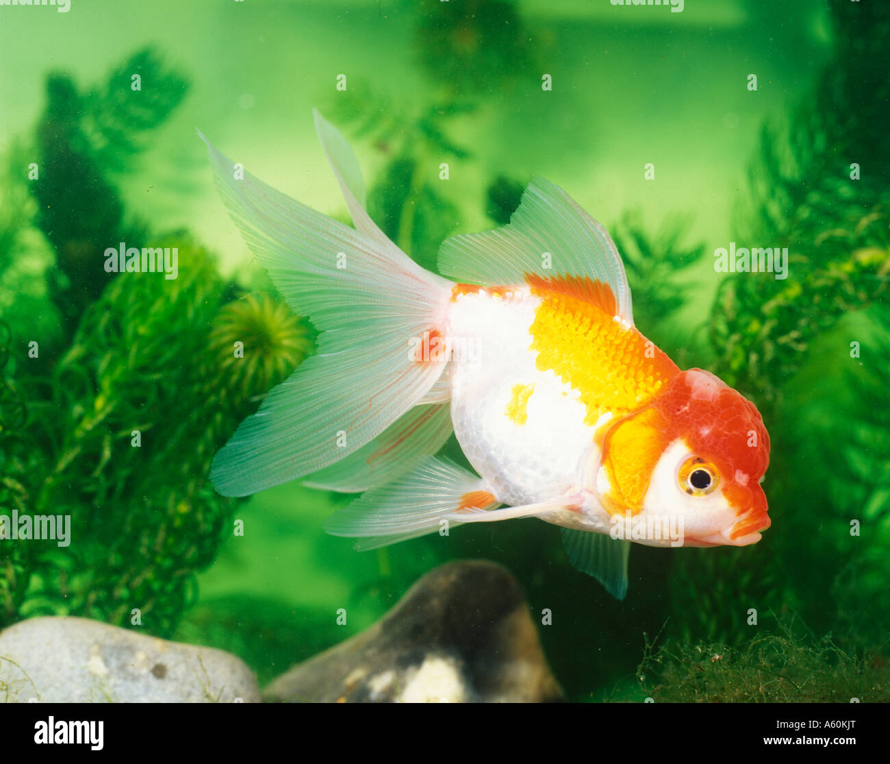 LIONHEAD FANTAIL SWIMMING SIDE VIEW Stock Photo