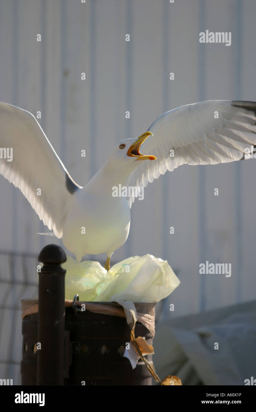 Seagull searching for food in trash Stock Photo