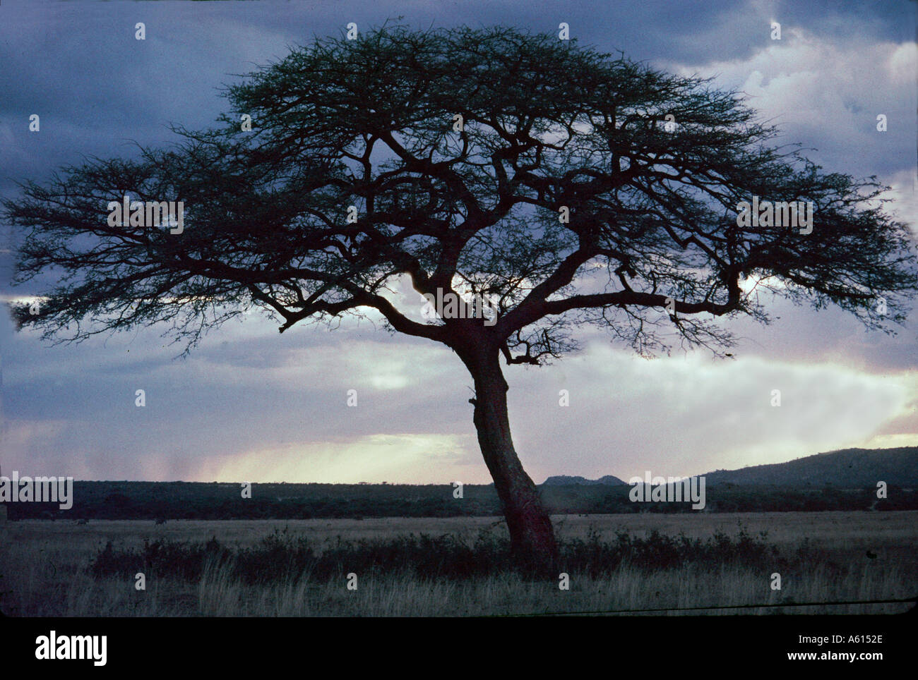 Lone Acacia Tree on Serengetti Plain at dusk - Stock Image