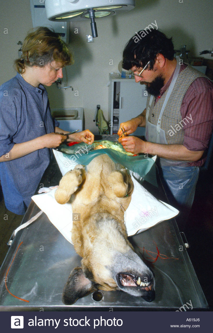 Two veterinary surgeons operating on dog Two veterinary surgeons operating on dog Stock Photo