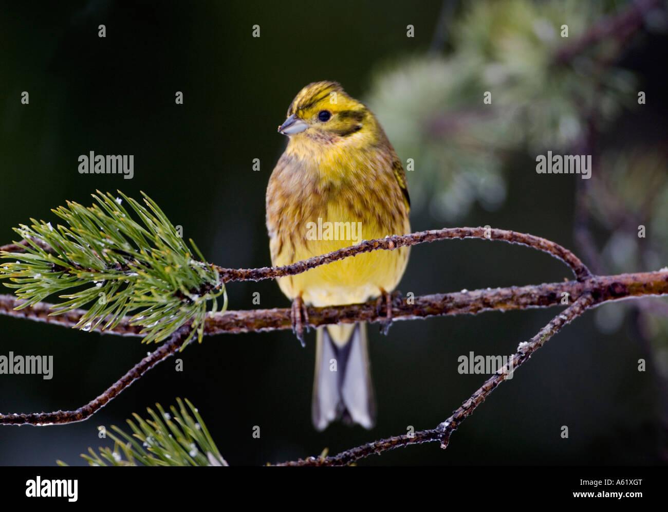 Yellowhammer Emberiza citrinella Kouvola - Southern Finland - Stock Image