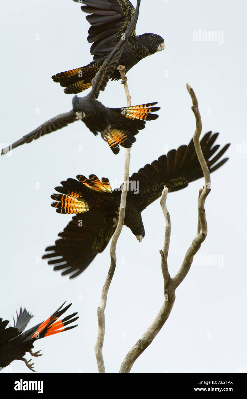 Red-tailed Black Cockatoo (Calyptorhynchus banksii) flock, taking off, Atherton Tablelands, Queensland, Australia - Stock Image