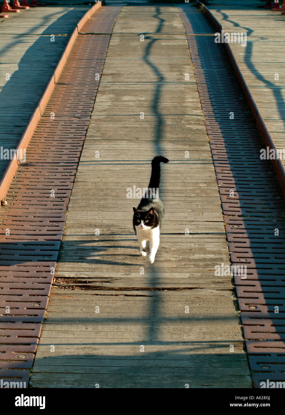 Cat walking between Tram lines - Stock Image
