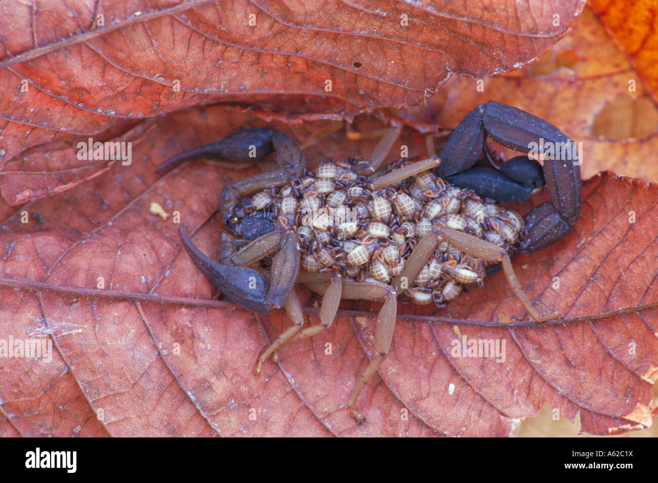 Baby Scorpion Stock Photos & Baby Scorpion Stock Images - Alamy
