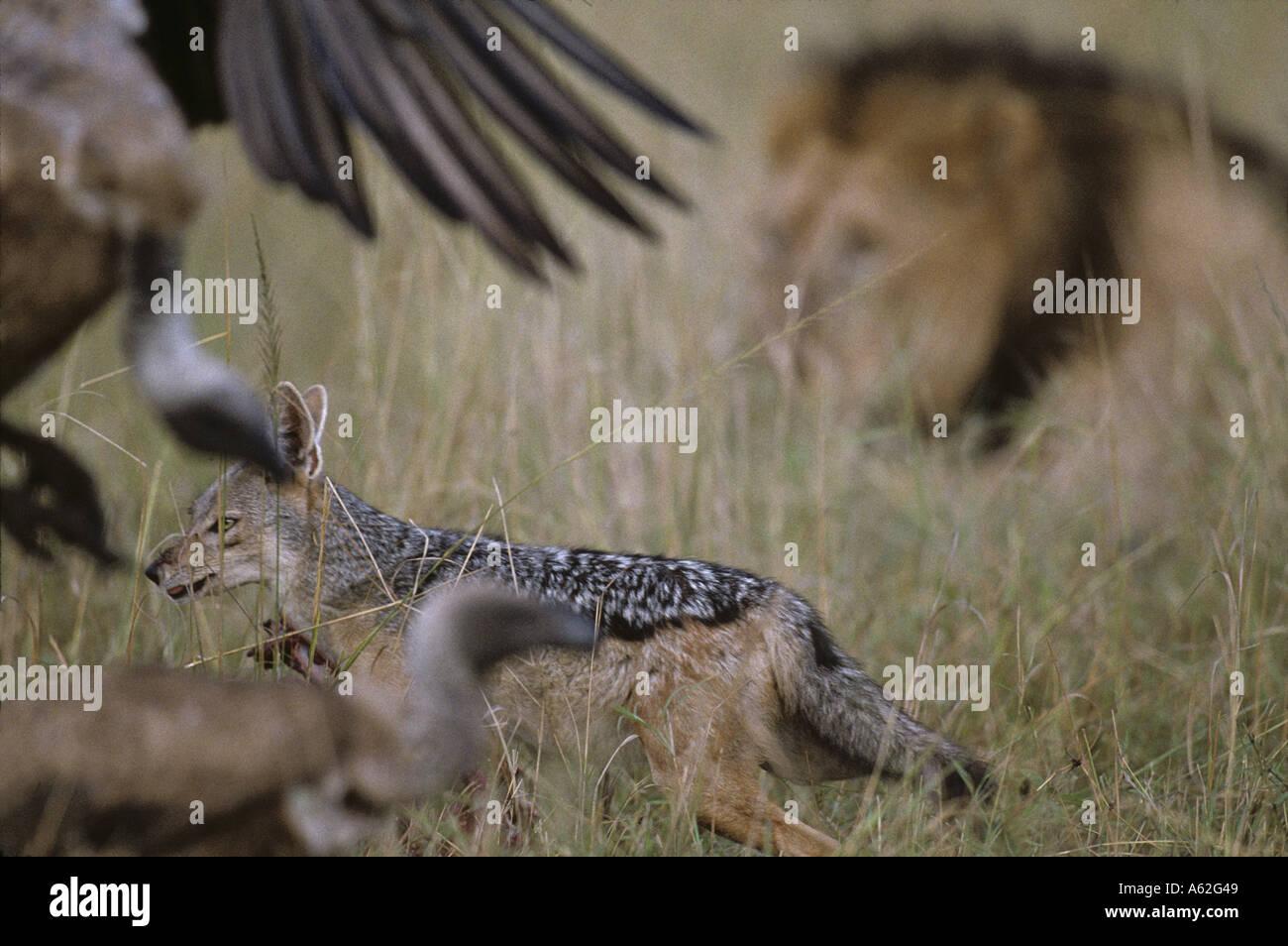 Africa Kenya Masai Mara Game Reserve Black Backed Jackal Canis mesomelas feeding on scraps from Lion kill on savanna Stock Photo