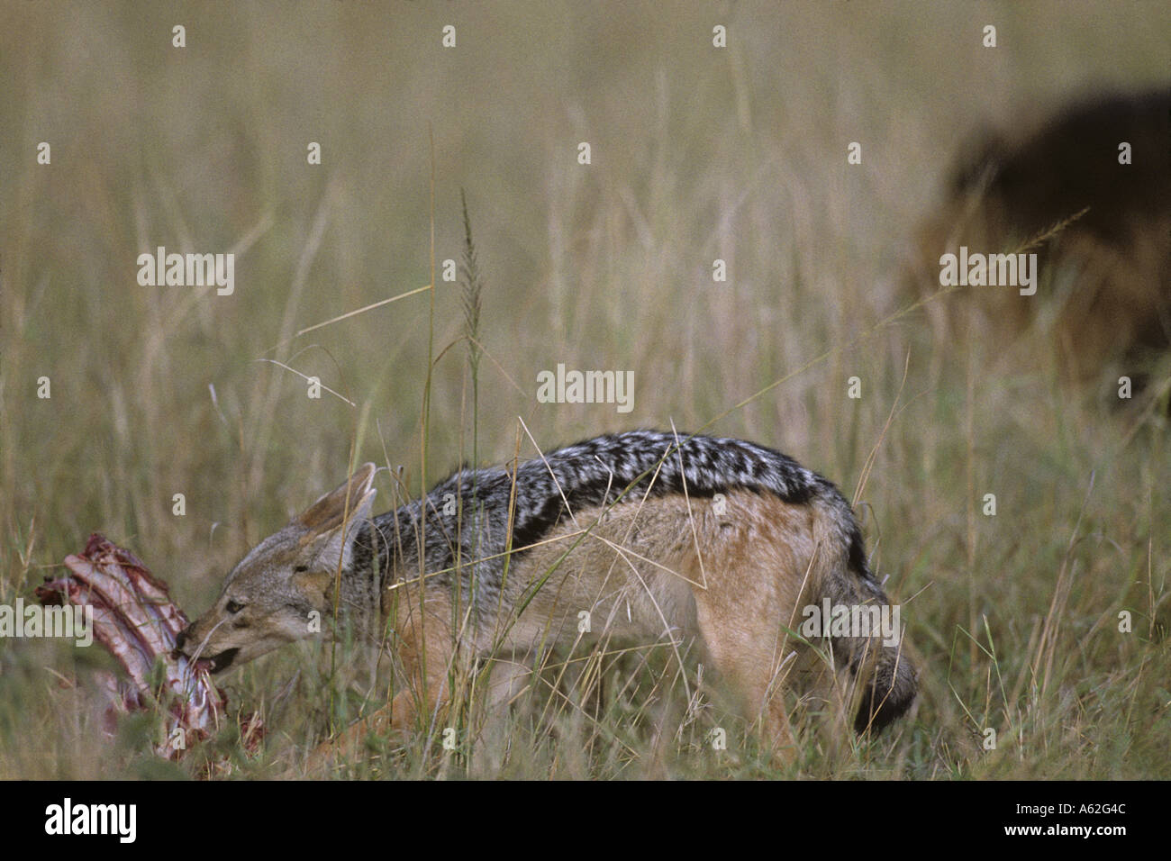 Africa Kenya Masai Mara Game Reserve Black Backed Jackal Canis mesomelas feeding on scraps from Lion kill on savanna Stock Photo