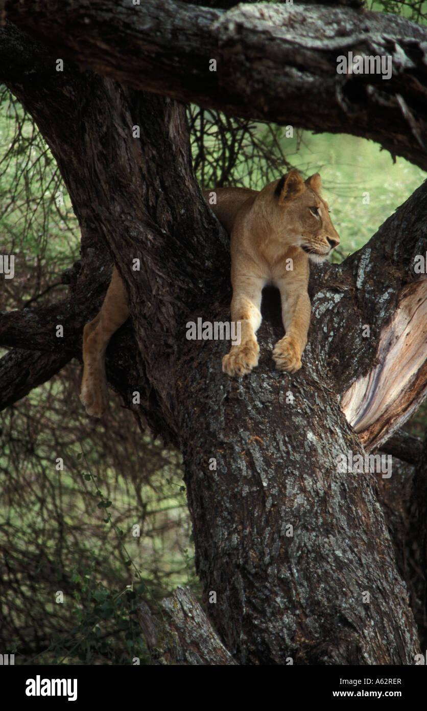 tree climbing lion Panthera leo Lake Manyara National Park Tanzania - Stock Image
