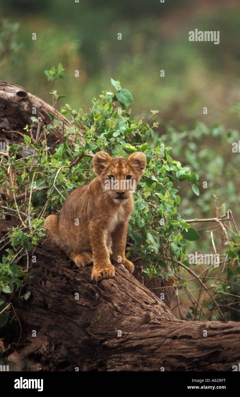 lion cub Panthera leo Lake Manyara National Park Tanzania - Stock Image