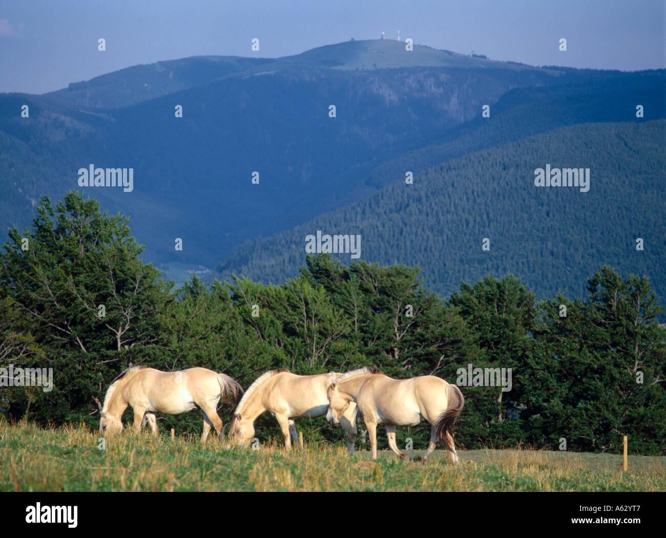 Haflinger horses standing in field, Feldberg, Black Forest, Germany Stock Photo