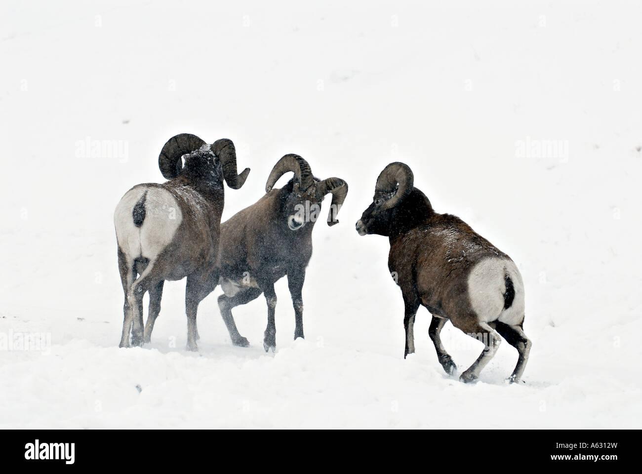 Bighorn Sheep Butting Heads