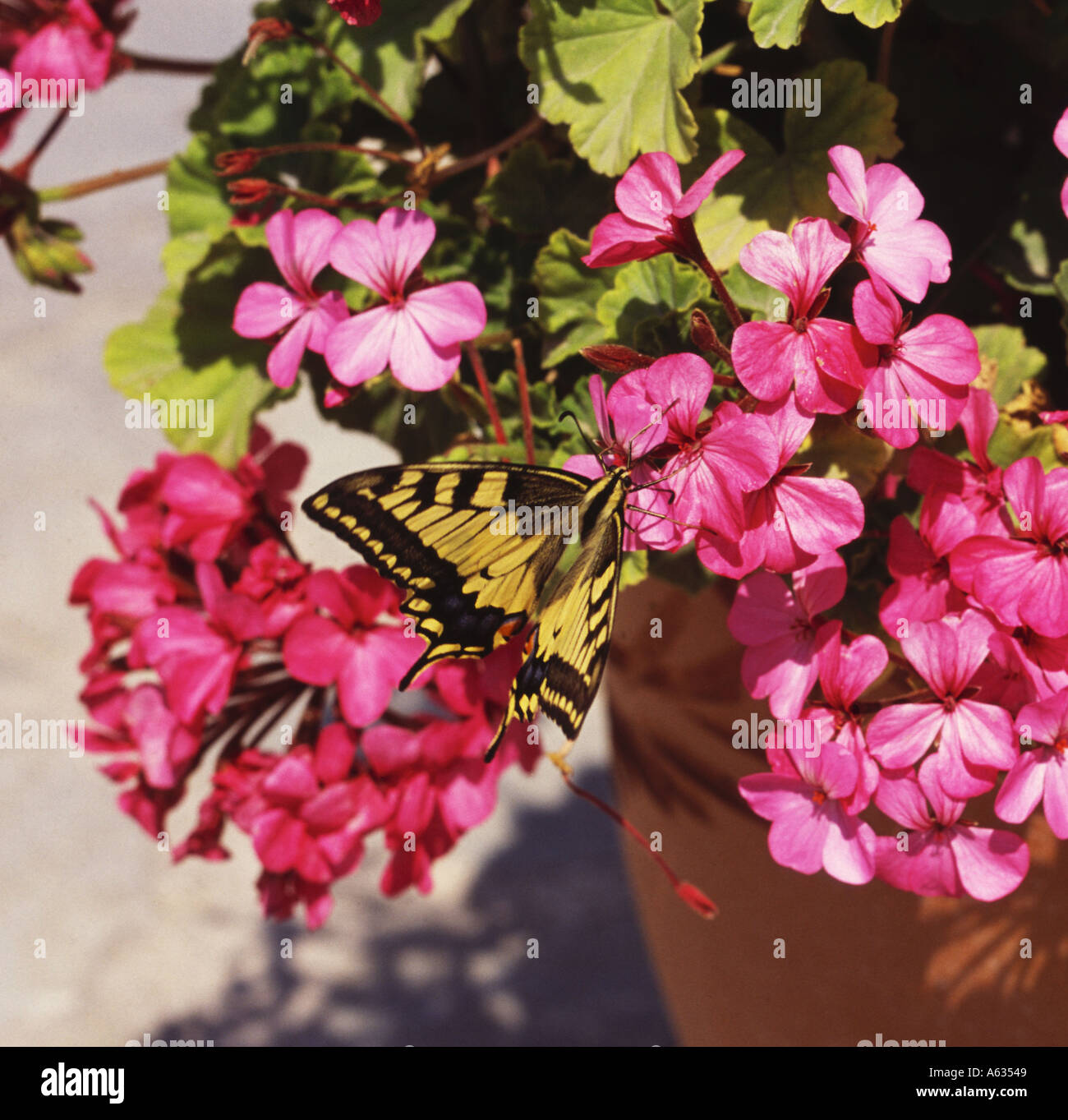 Exotic yellow and black swallowtail butterfly Papilio machaon on geraniums in flower pot Zakynthos Island The Greek Islands Stock Photo