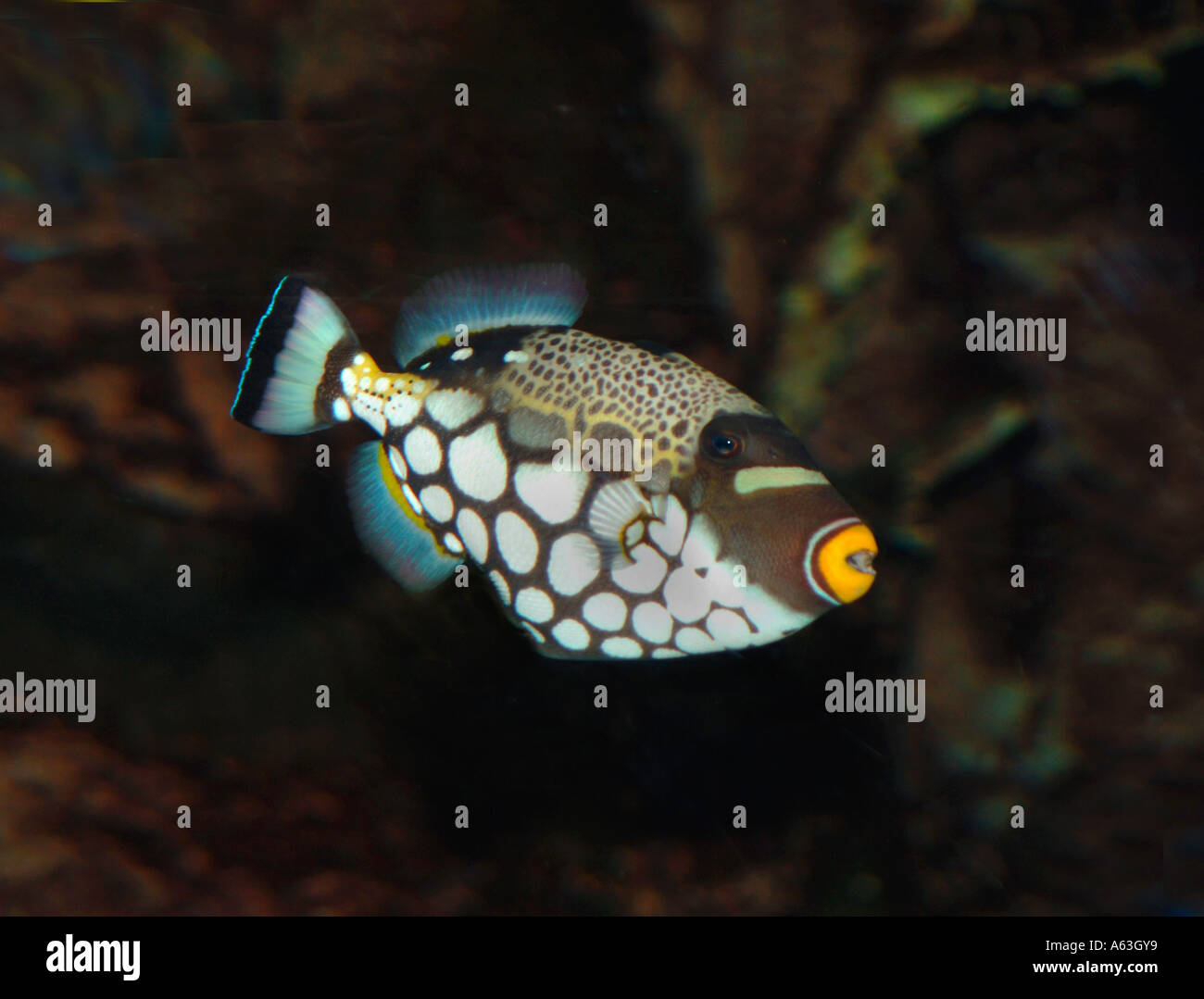 Clown Trigger Fish (Balistoides Conspicillum) - Stock Image