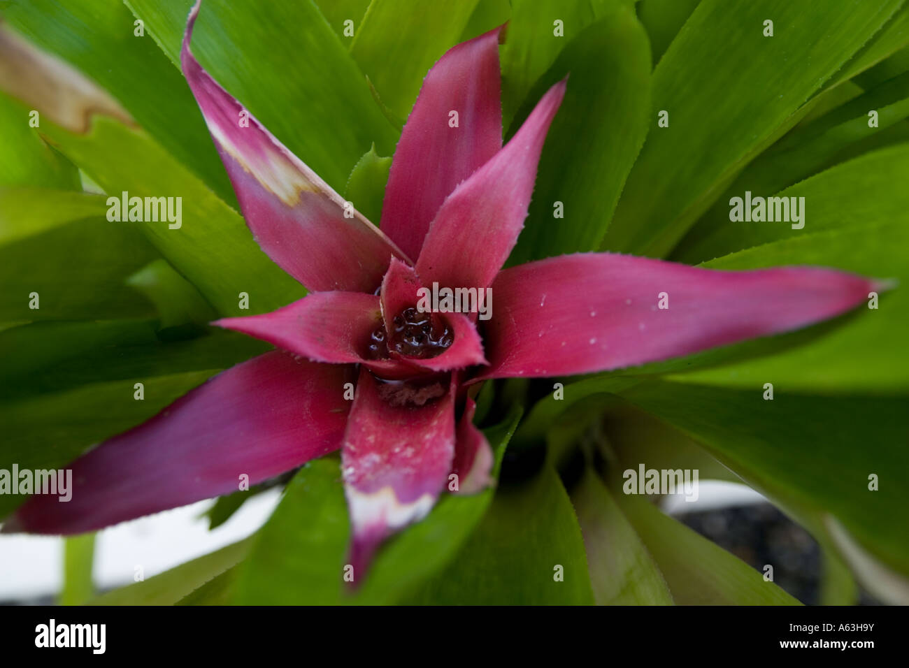 Aechmea fulgens tropical plant with green leaves and pink core flower. - Stock Image