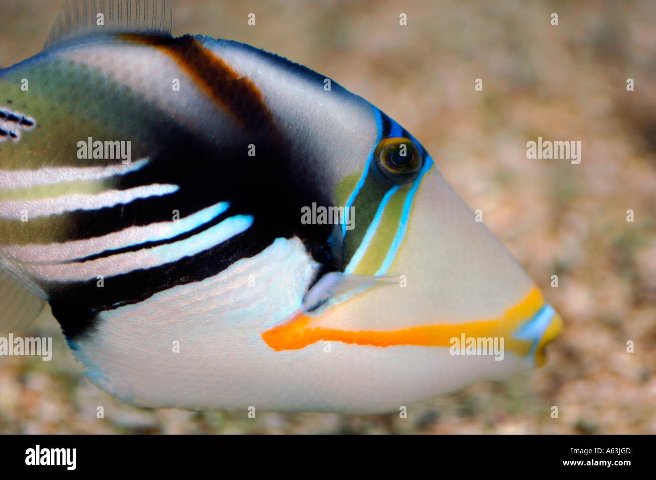 Picasso Trigger Fish(Rhinecanthus aculeatus0 - Stock Image