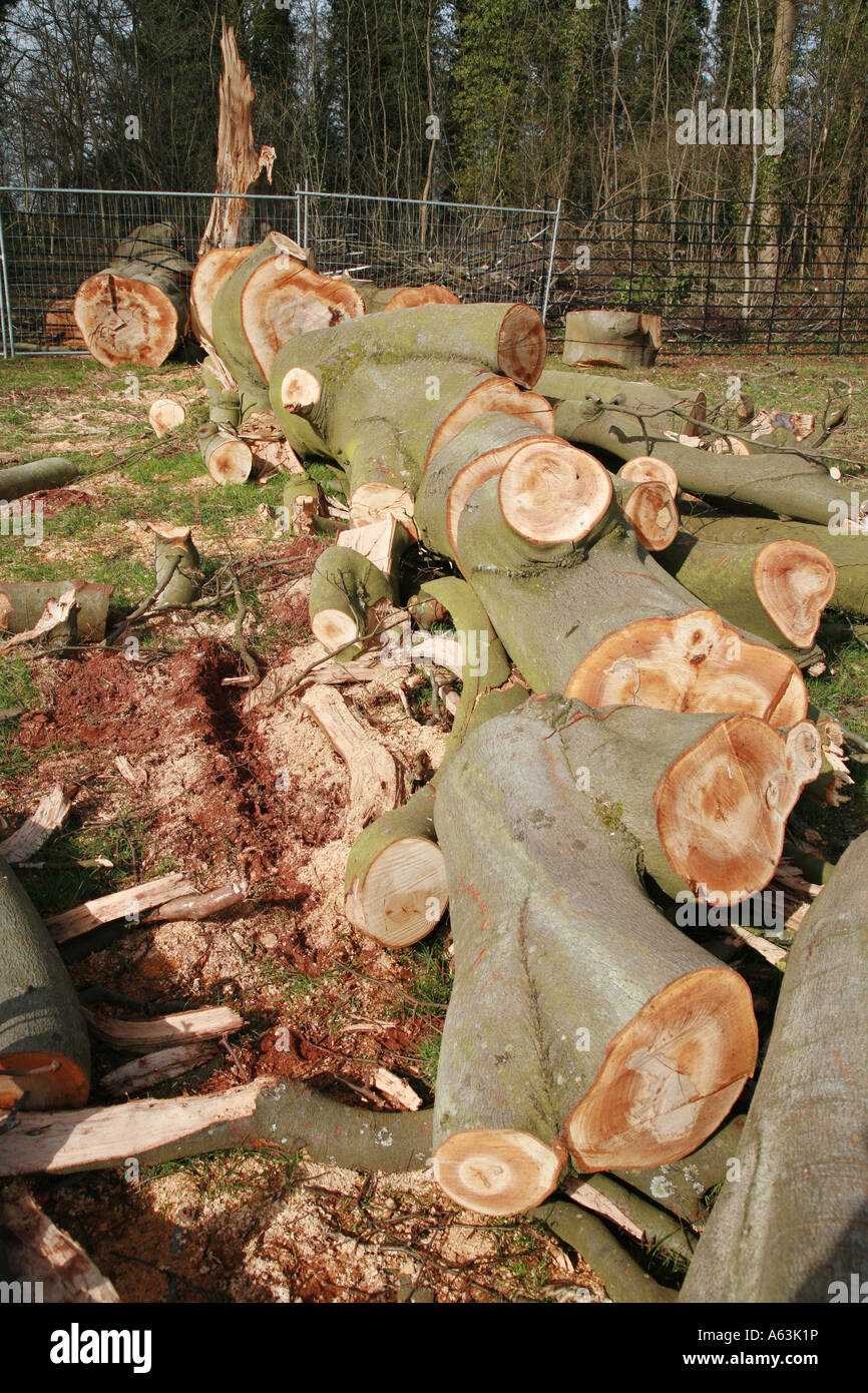 Felled beech tree Fagus sylvatica - Stock Image