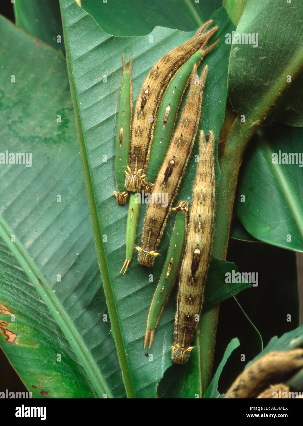 owl butterfly larvae catepillars (Caligo beltrao) from tropical Amazon rainforest Brazil Stock Photo
