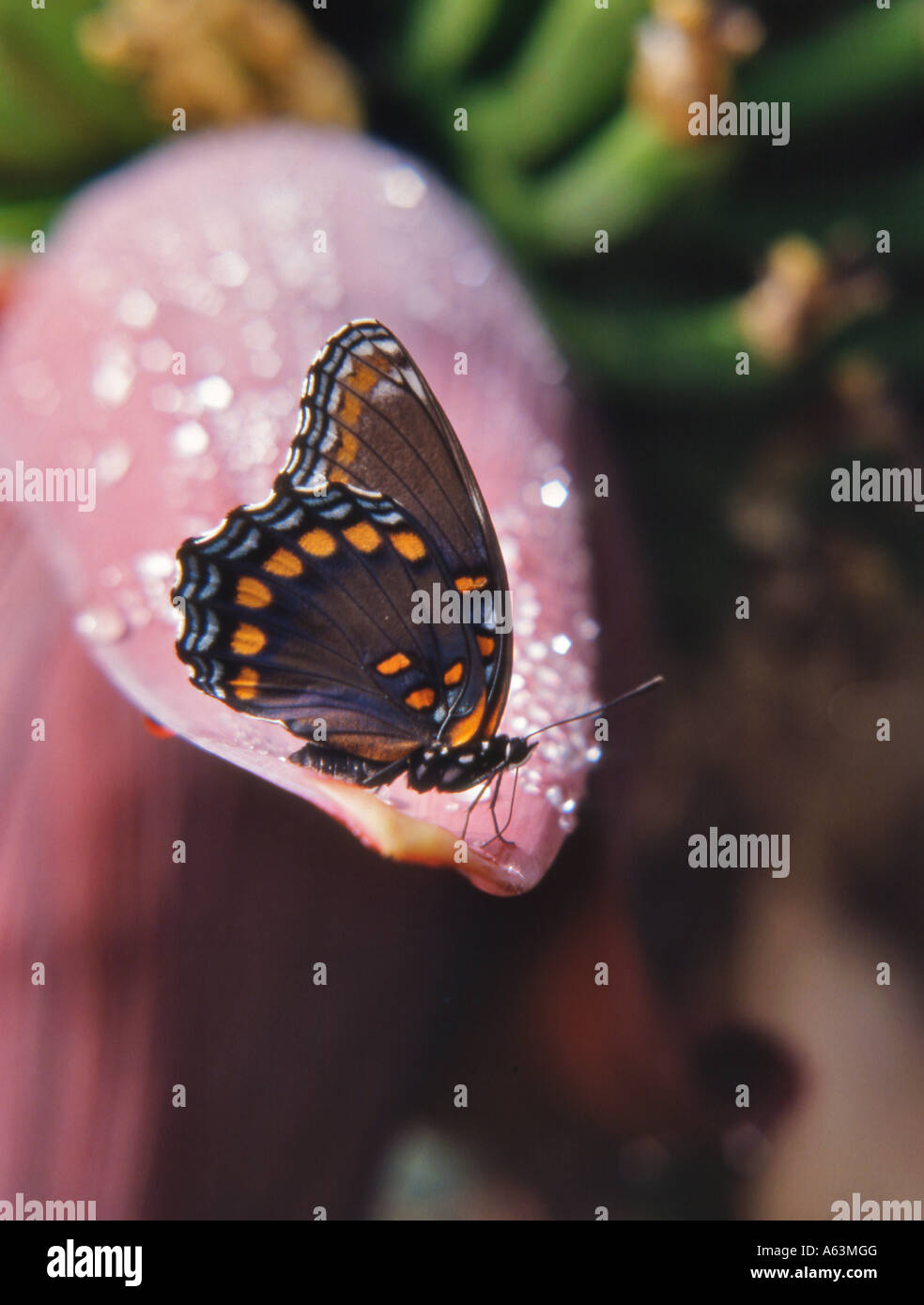 Limenitis astyanax butterfly USA - Stock Image