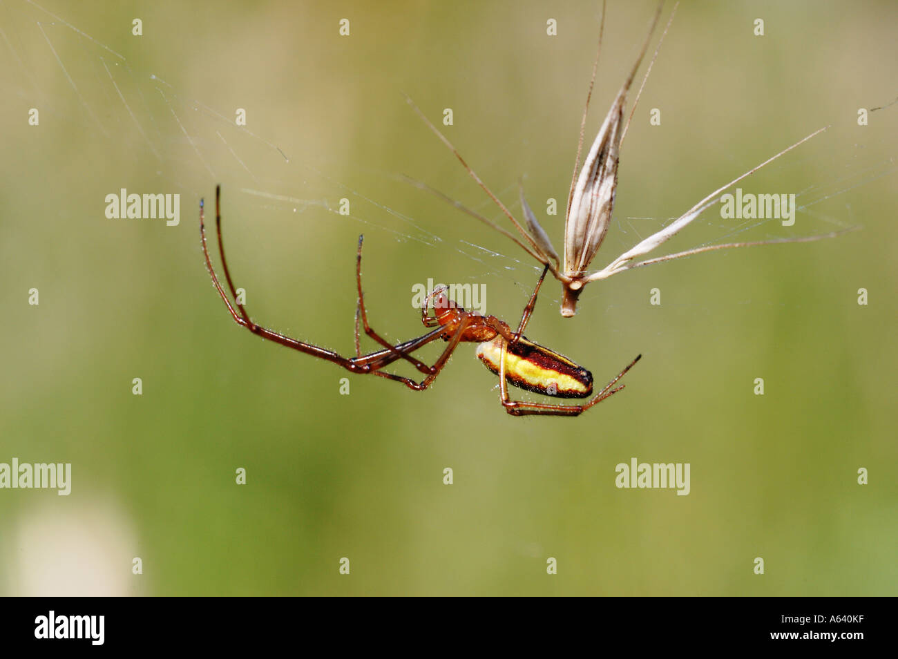 Macro of yellow brown spider hanging on its cobweb in the air . Kamchatka , Siberia , Pacific - Stock Image