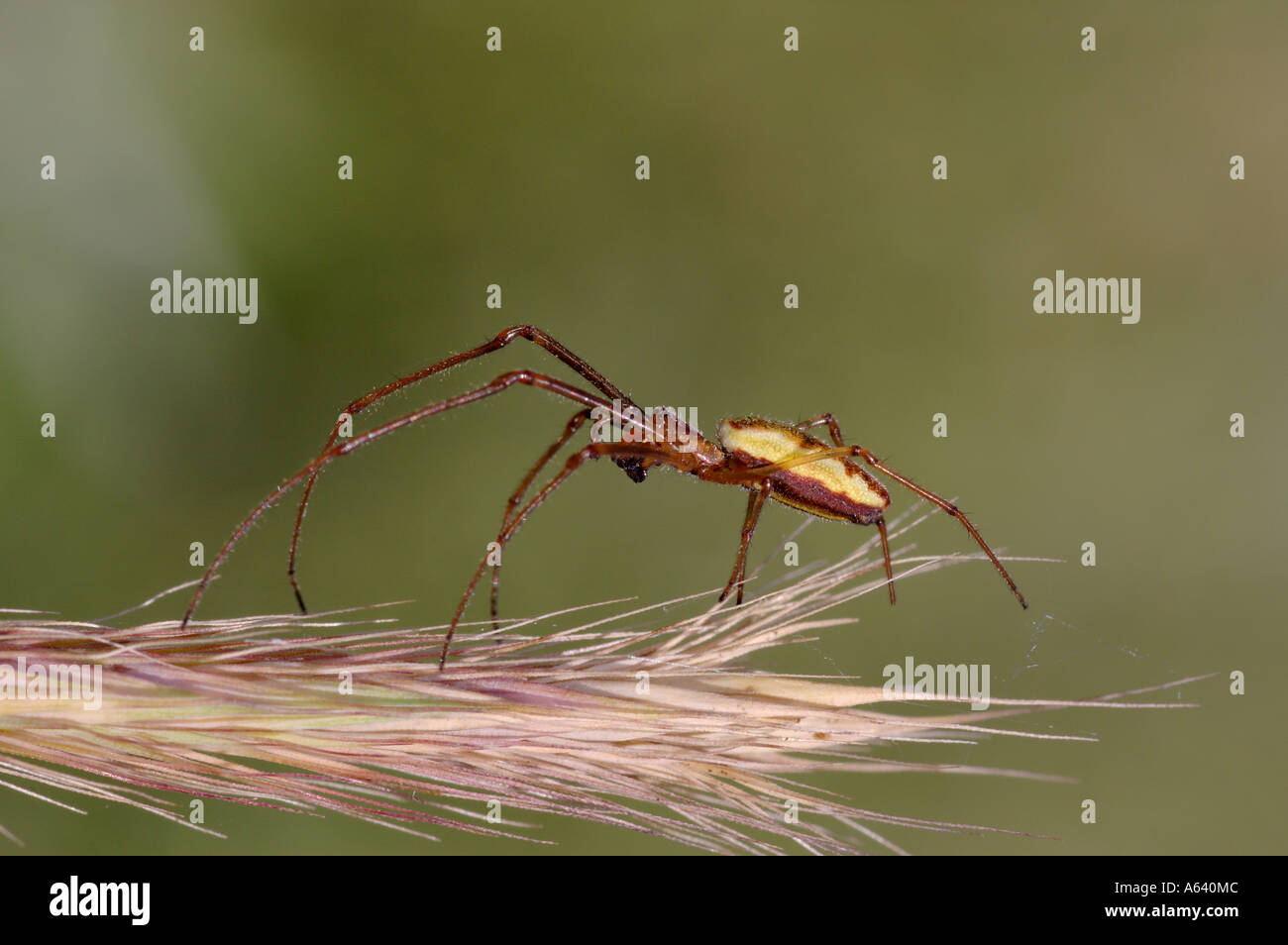 Macro of yellow brown striped spider sitting on a spikelet . All eight black eyes are visible . Kamchatka , Siberia , Pacific - Stock Image