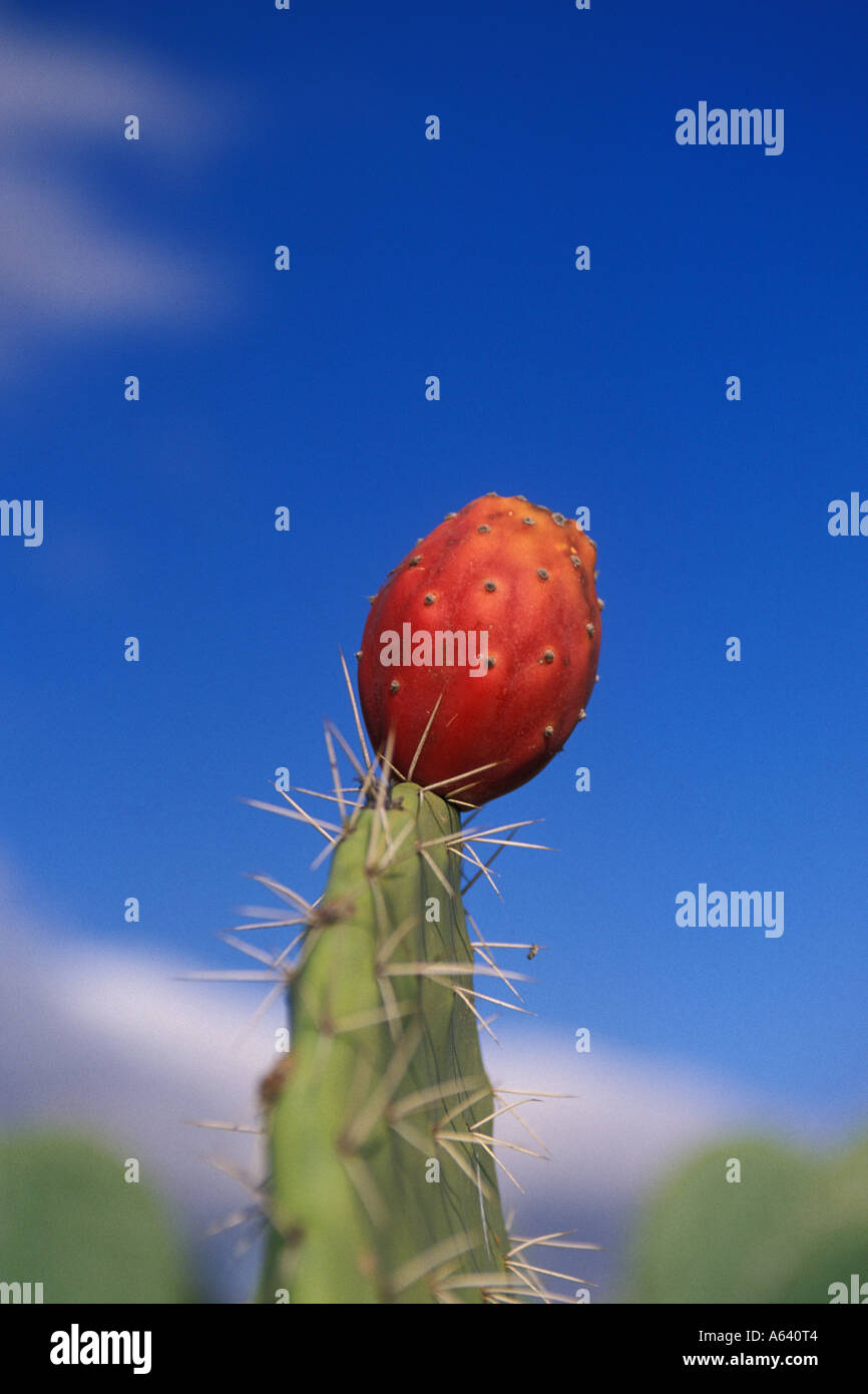 Tunisia, Prickly Pear cactus Stock Photo