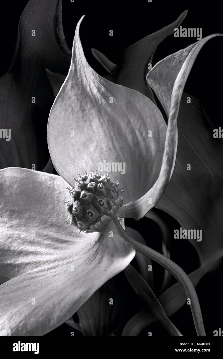 Paper Mulberry Tree Flower Black And White - Stock Image