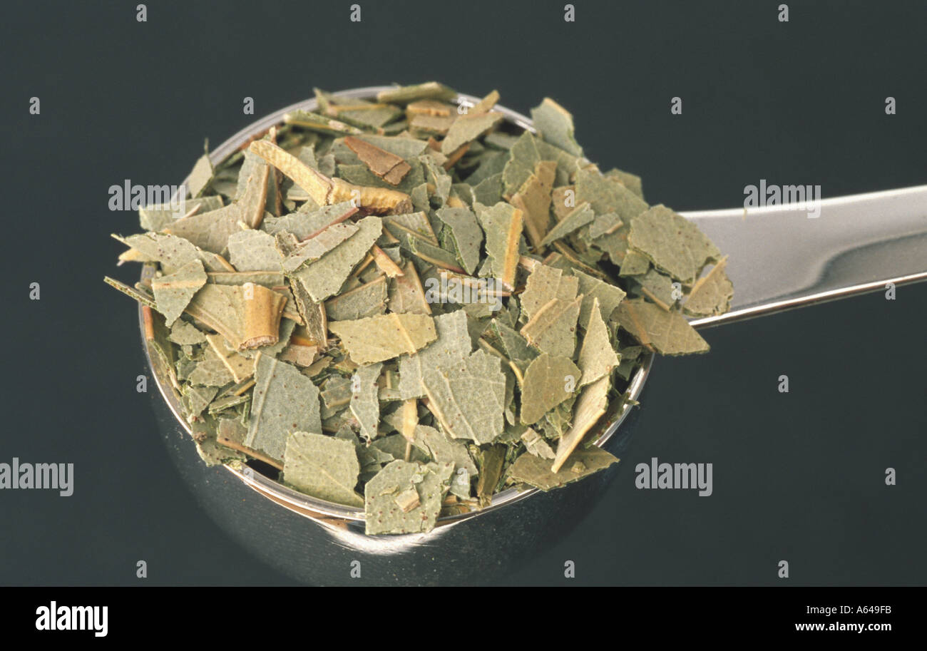 Eukalyptus Blätter leaves Eucalyptur globulus - Stock Image
