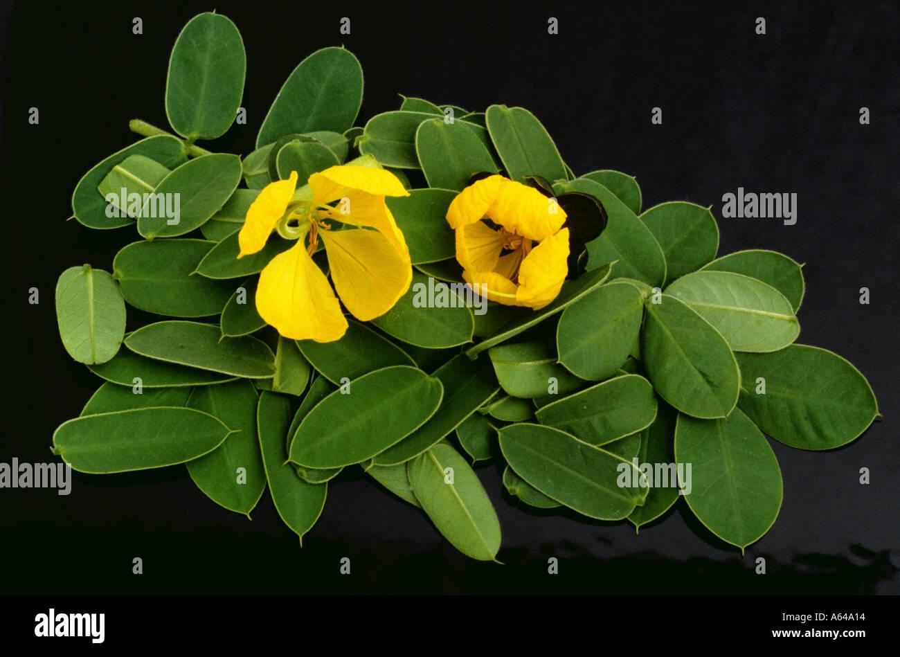 Senna Blüten Blätter Senna marilandica Cassia blossoms and leaves - Stock Image