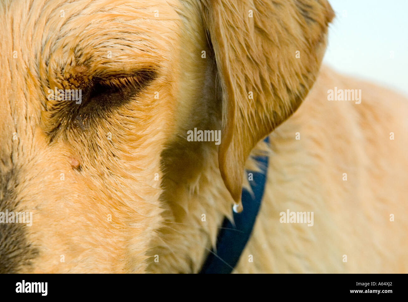 Close-up of yellow lab contemplating whether his fetch toy is soon to be thrown. - Stock Image